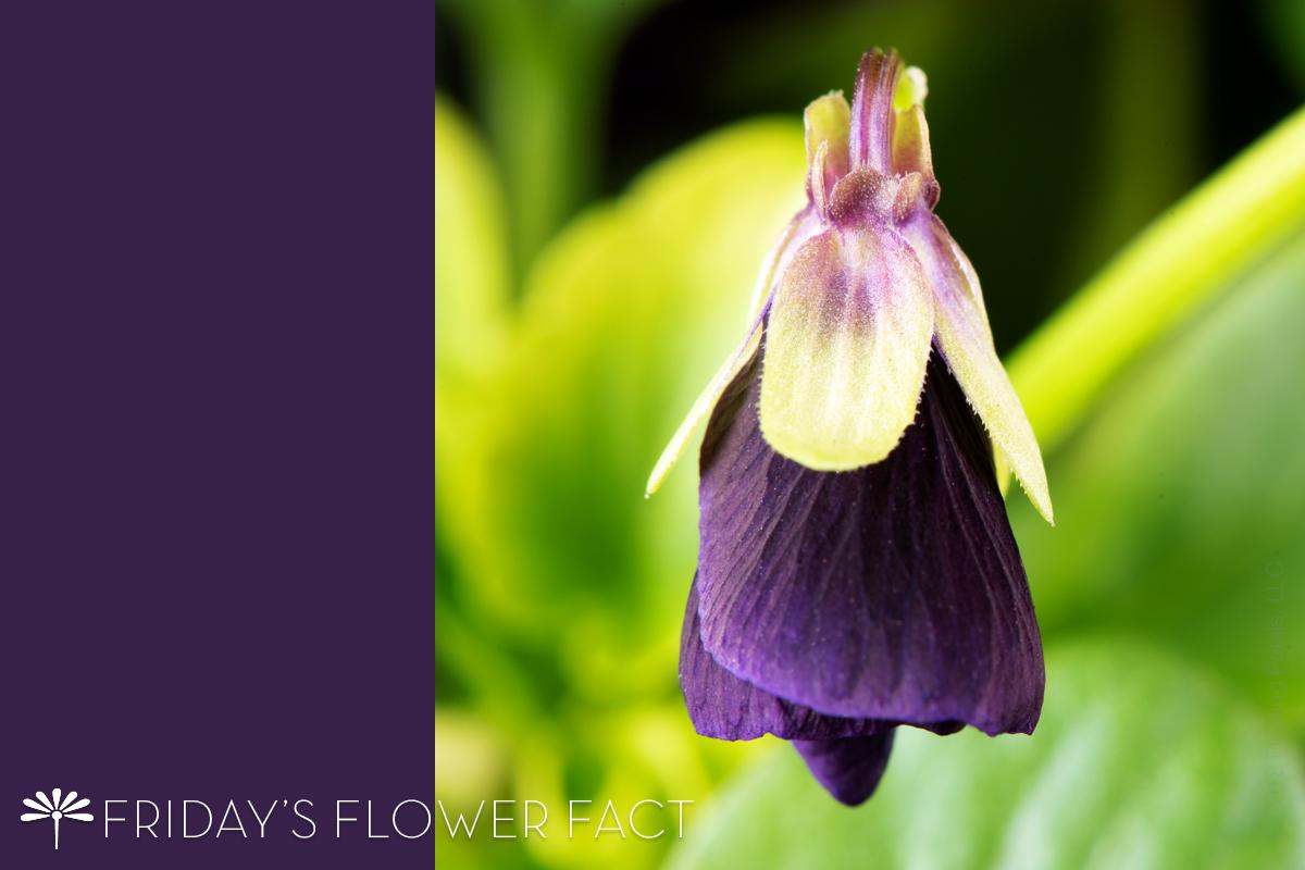 Friday's Flower Fact: Sorbet Black Delight Viola