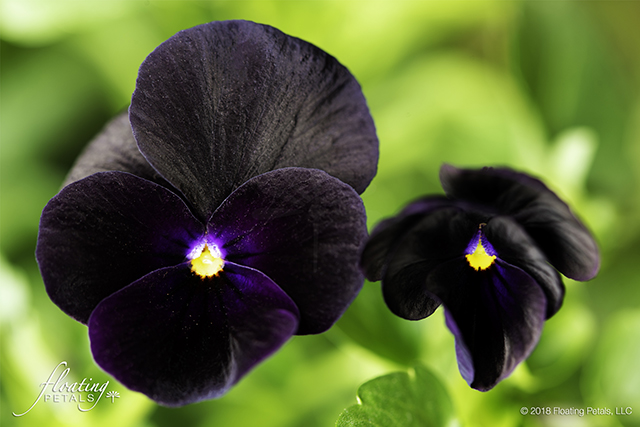 Sorbet Black Delight Viola