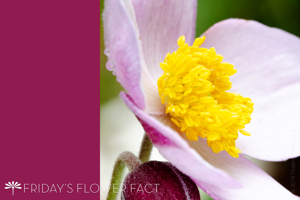 Friday's Flower Fact: Japanese Anemone