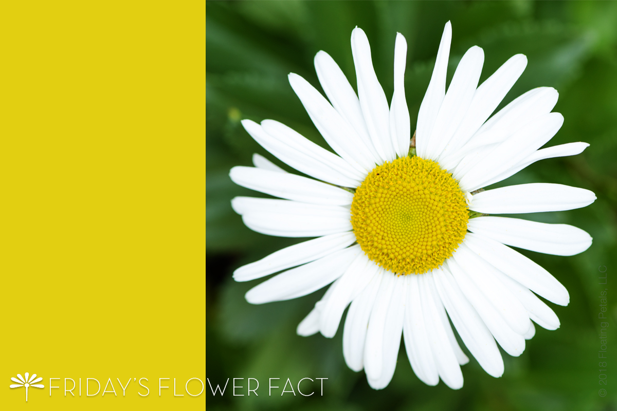 Friday's Flower Fact: Montauk Daisy