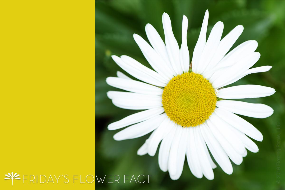 Friday's Flower Fact: Montauk Daisy