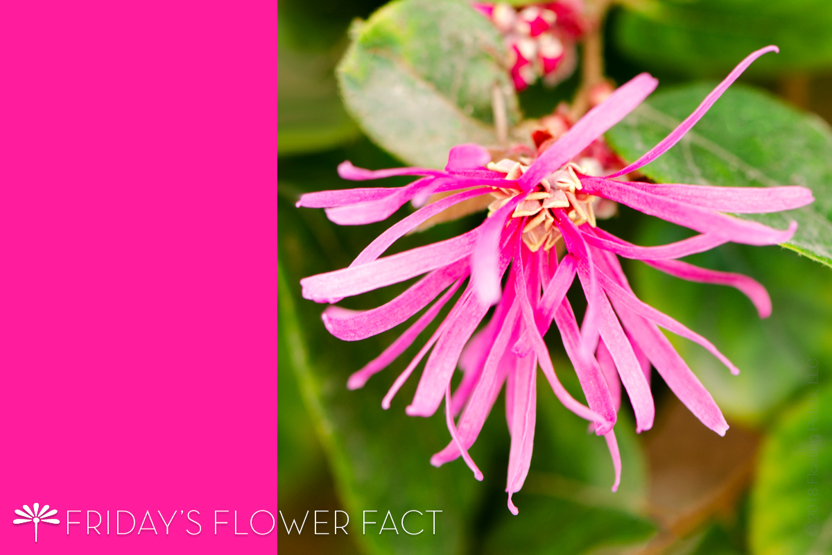 Friday's Flower Fact: Chinese Fringe Flower