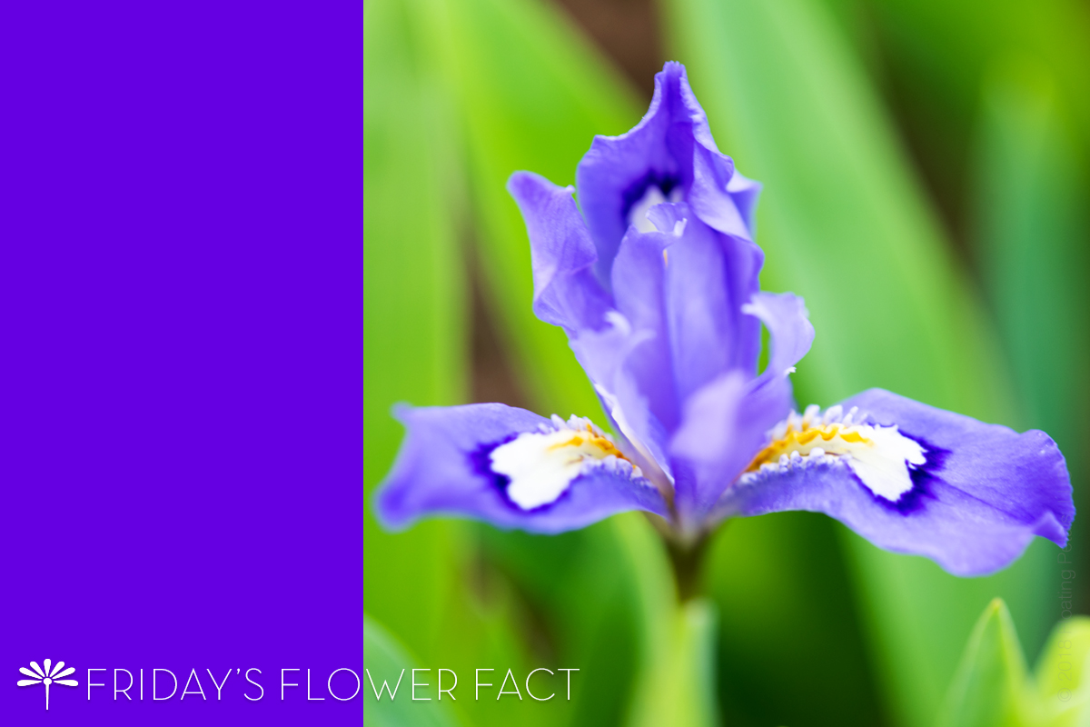 Friday's Flower Fact: Crested Iris