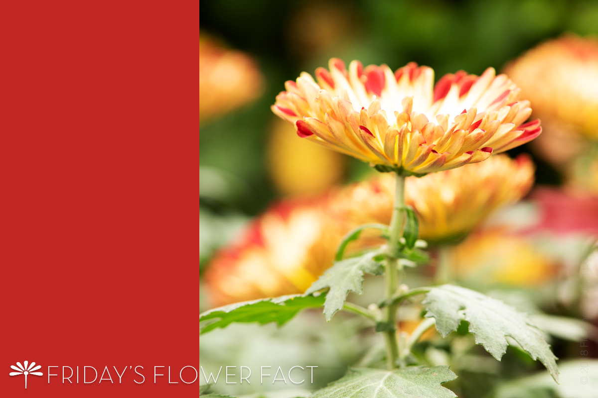 Friday's Flower Fact: Redwing Mum Chrysanthemum