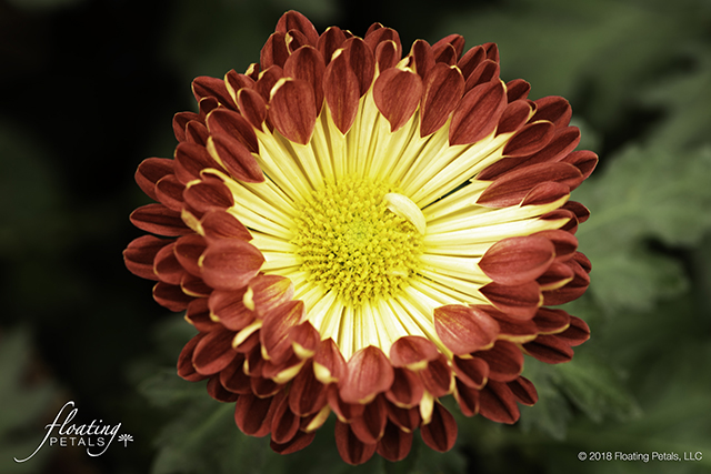 Redwing Mum Chrysanthemum