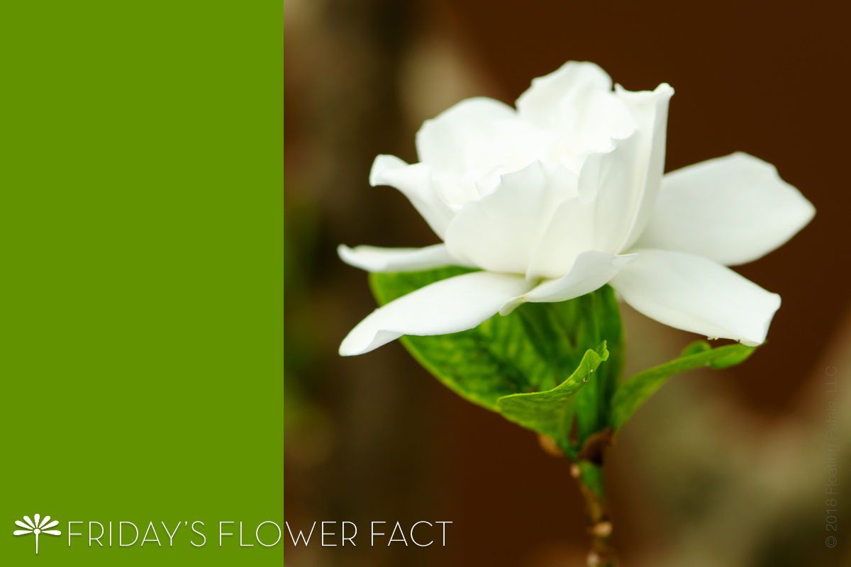 Friday's Flower Fact: Common Gardenia
