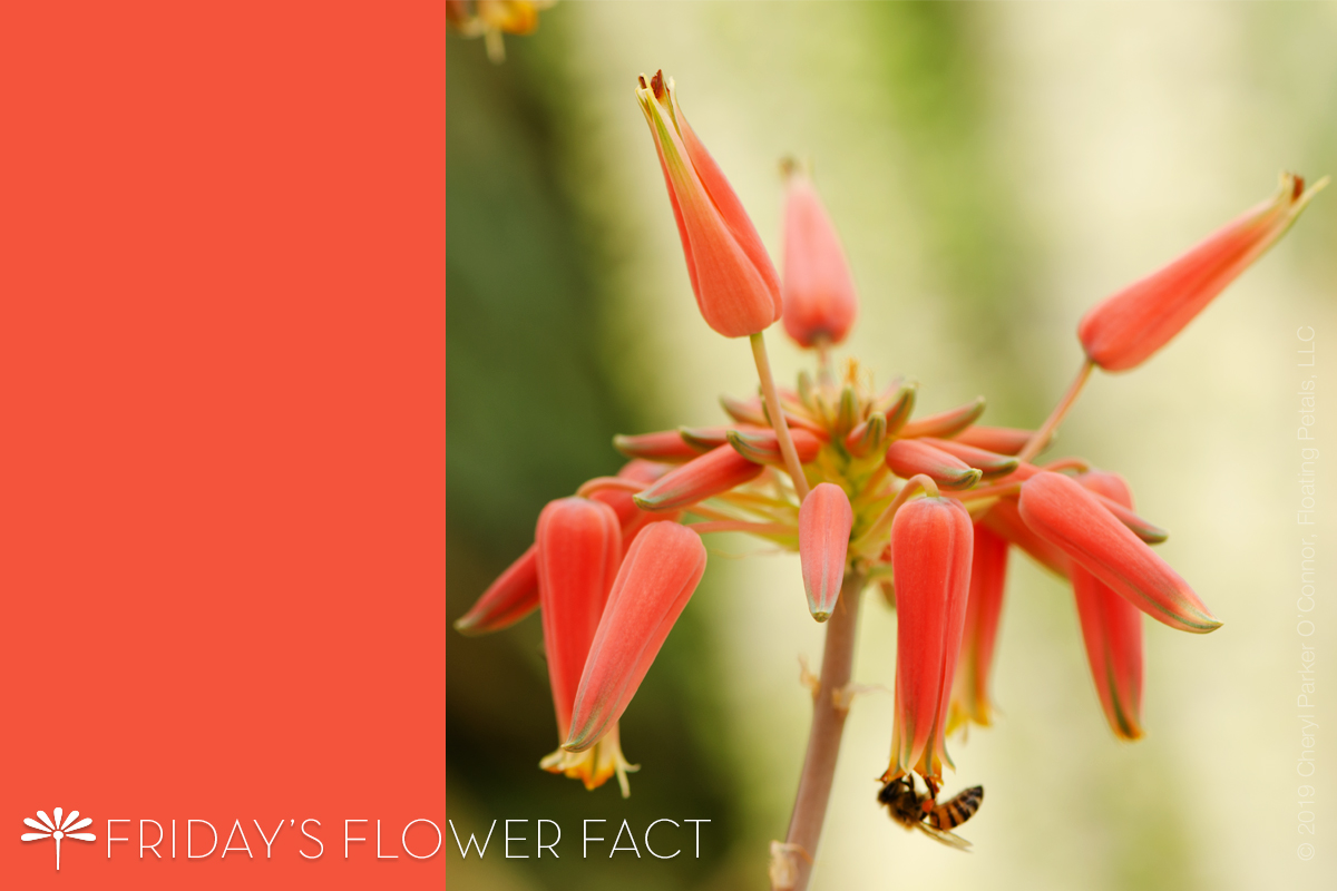 Flower Fact: Sand Aloe