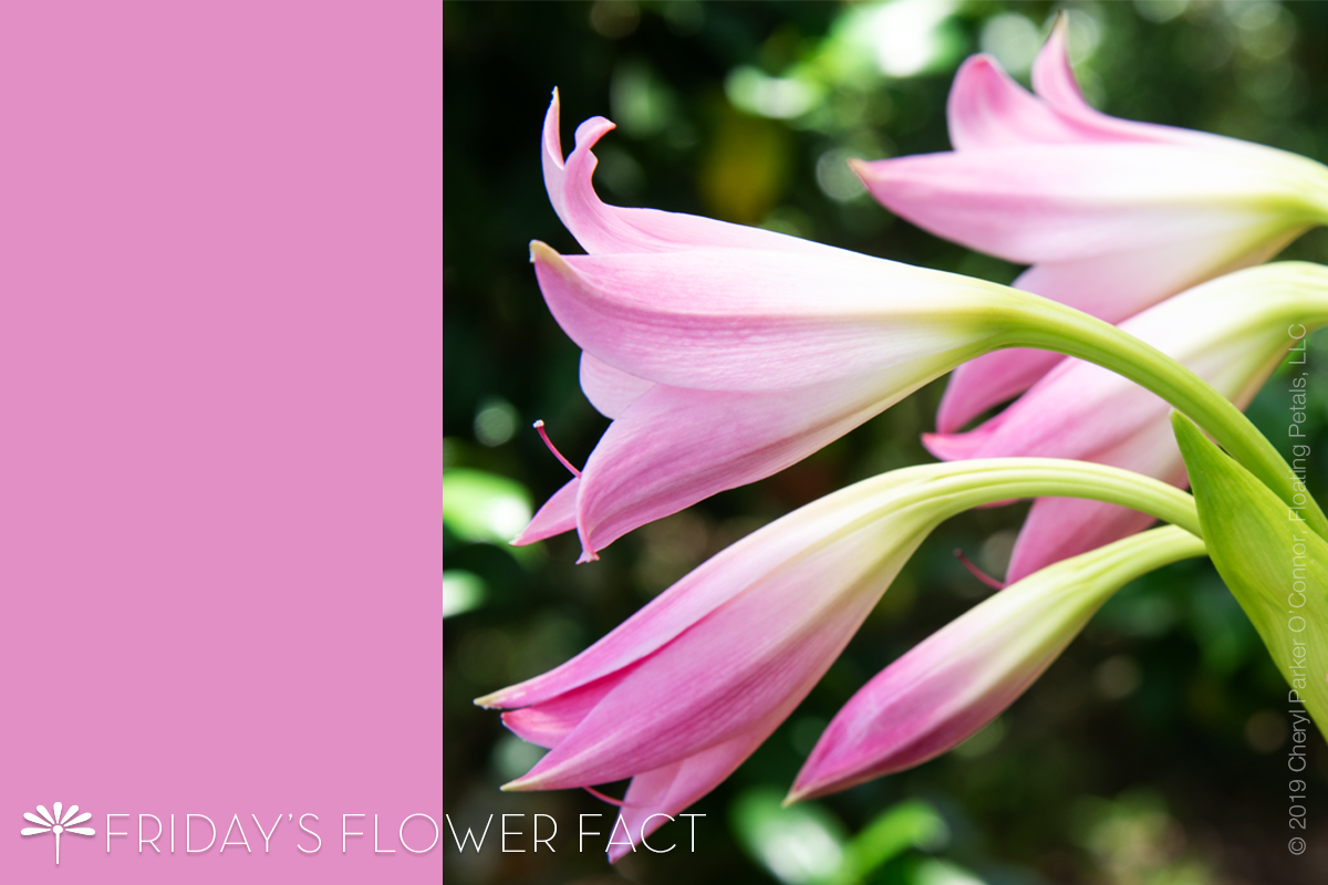 Flower Fact: Pink Crinum Lily