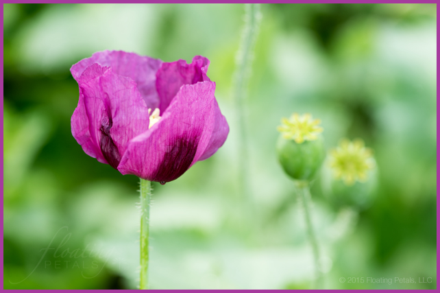Hungarian Blue Bread Seed Poppy