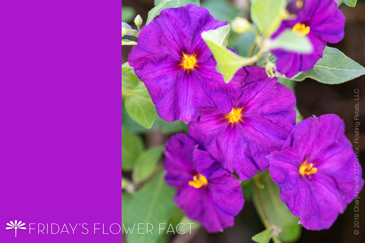 Flower Fact: Blue Potato Bush