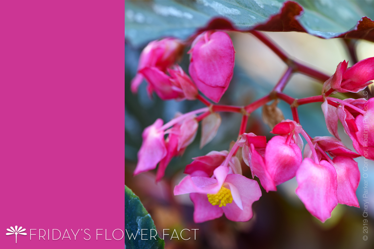 Flower Fact: Angel Wing Begonia Lana