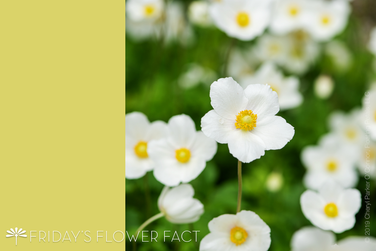 Flower Fact: Snowdrop Windflower