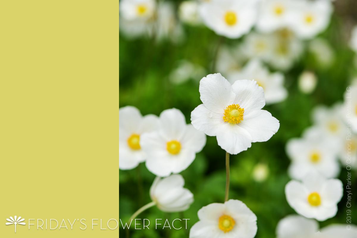 Flower Fact: Snowdrop Windflower