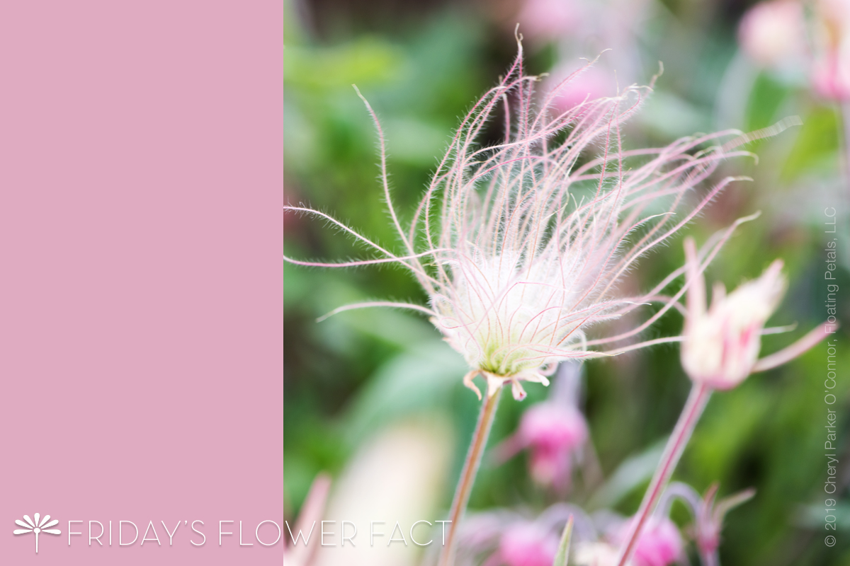 Flower Fact: Prairie Smoke Avens