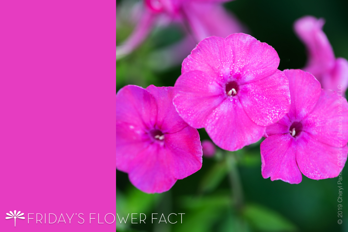 Flower Fact: Wild Sweet William | Meadow Phlox