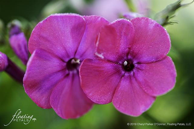 Wild Sweet William | Meadow Phlox
