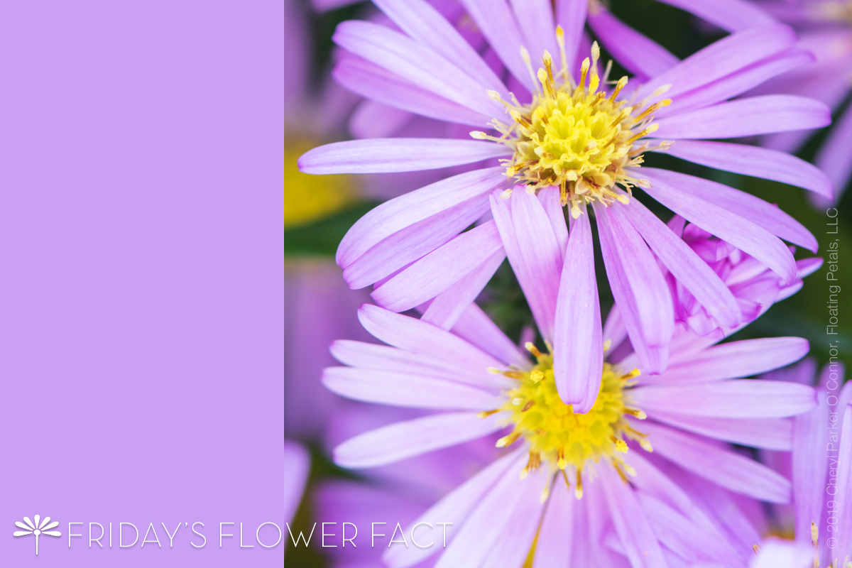 Wood's Pink New York Aster