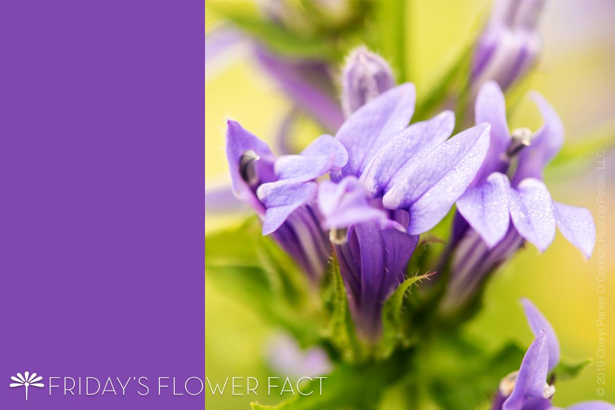 Friday's Flower Fact: Great Blue Lobelia