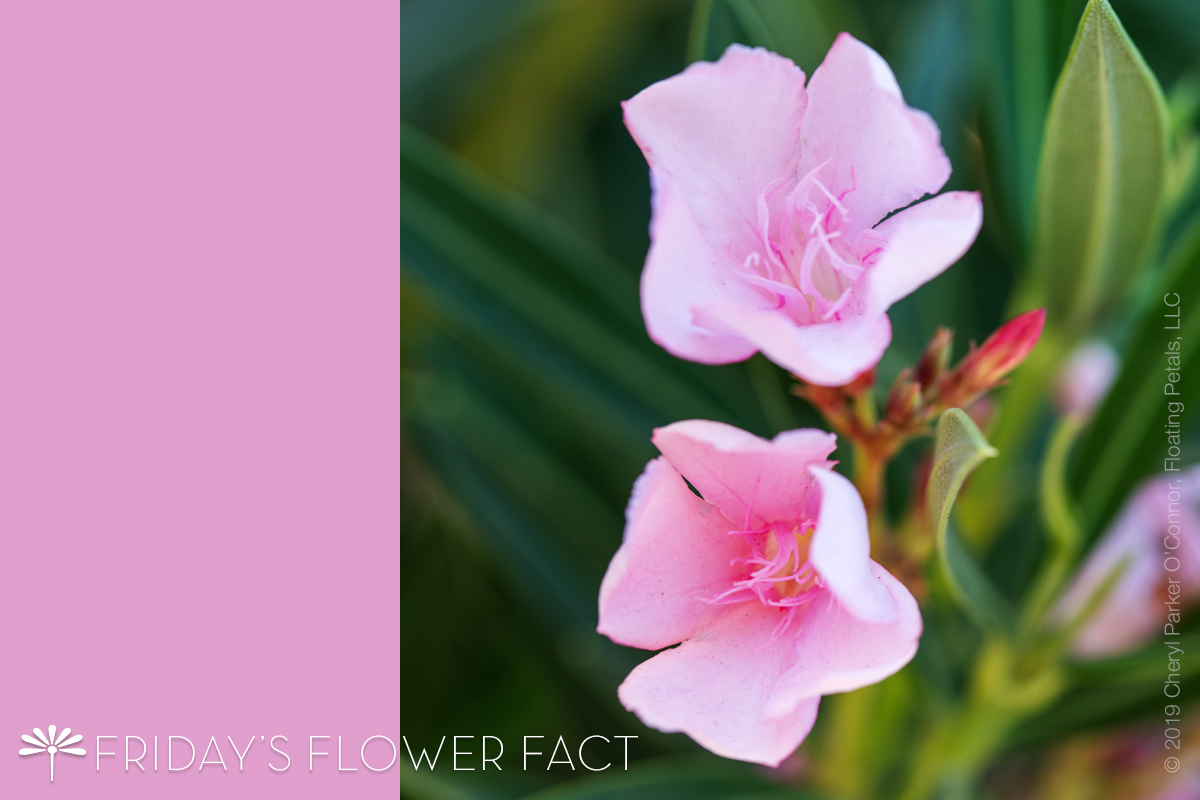 Friday's Flower Fact | Oleander